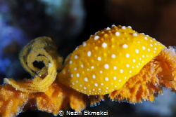Nudibranch by Nezih Ekmekci