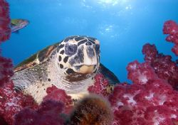 Turtle Portrait, on top of the Yongala Wreck. GBR by Andy Lerner