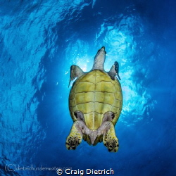 Turtle was very friendly and I waited for him to cover th... by Craig Dietrich