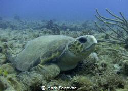 Loggerhead Turtle Loggerhead resting on the reef in 60 f... by Mark Sagovac