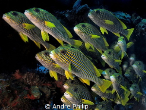 The parade of sweetlips by Andre Philip