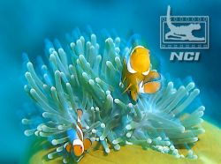 clownfish and anenomie host slow shutter speed 35mm slid... by Justin Bauer