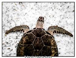 Green Turtle in Akumal Bay, Mexico by Baruch Figueroa-Zavala