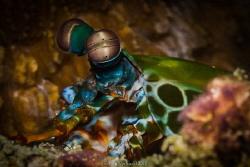 ...amazing eyes of the mantis shrimp - Odontodactylus scy... by Ivan Vychodil