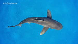 Oceanic Whitetip over the sand, which is rare for this sp... by Ken Kiefer