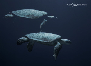 Huge Green Seaturtle slowly dropping off into the Abyss 