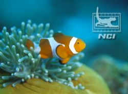 clownfish and host anenomie phillipines canon eos 5 film... by Justin Bauer