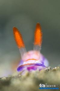 H E A D - S H O T Nudibranch (Hypselodoris carnea) Anil... by Irwin Ang