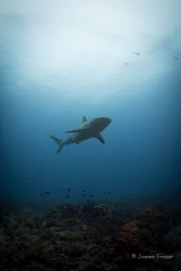 Reef Shark shot in Jupiter Florida ISO 800 1/60 sec f11 a... by Joanne Fraser