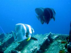 batfish on Thistlegorm by Gordana Zdjelar