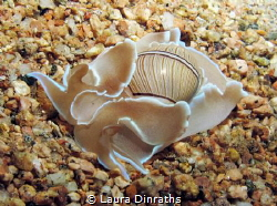 Bulbous hydatina (opistobranch mollusk) on the sand durin... by Laura Dinraths