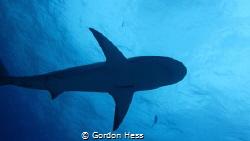 Carribean reef shark by Gordon Hess