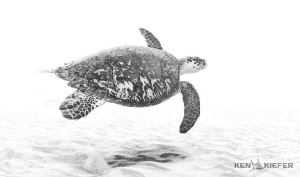Hawksbill Turtle swimming just above the sandy bottom in ... by Ken Kiefer