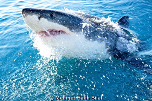 Great white shark jumping. by Mehmet Salih Bilal