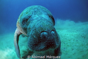 Close encounter with the Manatee by Abimael Márquez