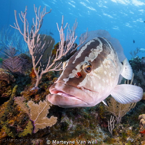 A friendly grouper taking a peak at the dome port by Marteyne Van Well