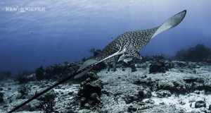 Eagle Ray just sliding through the currents with ease.  by Ken Kiefer
