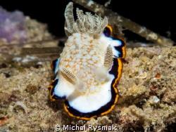 Goniobranchus obsoletus Qatar - Arabian / Persian Gulf ... by Michal Rysniak