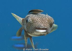 Porcupinefish Easy rider by Hans-Gert Broeder