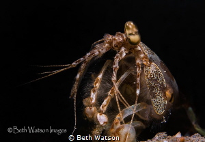 Snapping Mantis Shrimp (stomatopods) by Beth Watson