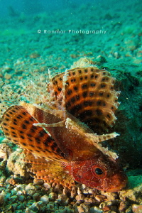 Magnificent Scorpion Fish posing for me :) by Ran Mor