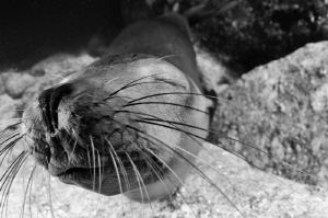 This cooperative sealion cub was lying on the bottom near... by Dmitry Starostenkov