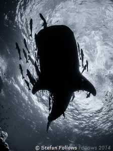 """Fun is good"" Dr. Seuss. Whale Shark - Rhincodon typus. S... by Stefan Follows"