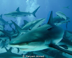Shark and remora , taken during a shark dive in the Baham... by Maryam Ahmed