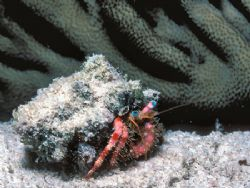 Out for a Stroll - Stareye Hermit Crab seen on night dive... by Laszlo Ilyes