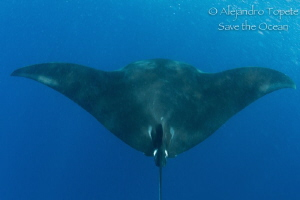 Manta Ray in the  Blue by Alejandro Topete