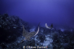 Spotted Eagle Rays Cruise the top of the wall on the Nort... by Chase Darnell