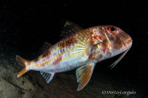 Mullus barbatus, night dive by Marco Gargiulo