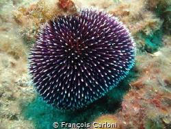Sphaerechinus granularis by François Carloni