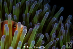 Skunk anemone fish and Sarasvati Anemone Shrimp on Anemon... by Tommi Kokkola