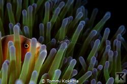 Skunk anemone fish and Sarasvati Anemone Shrimp on Anemon... by Tommi Kokkola