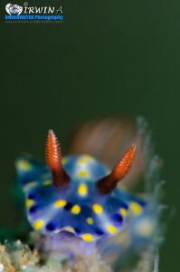 G R E E N - B A C K G R O U D Nudibranch (Hypselodoris o... by Irwin Ang