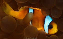 Shiny fellow - Mr Clown (Amphiprion bicinctus)in his usua... by Ivan Vychodil