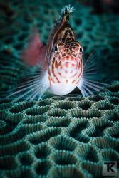 Threadfin hawkfish at Malapascua, Philippines. by Tommi Kokkola