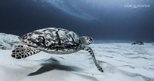 Just Passing Through...  Hawksbill Turtle in Cozumel  ... by Ken Kiefer