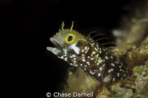 "Secretary Blenny saying ""AHHH"" by Chase Darnell"