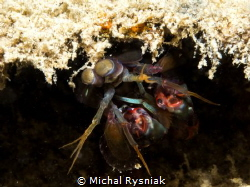 Mantis Shrimp by Michal Rysniak