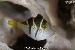 cute little mimicking file-fish by Gaetano Gargiulo