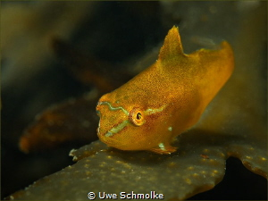 Cutie - very tiny juv. male lump sucker by Uwe Schmolke