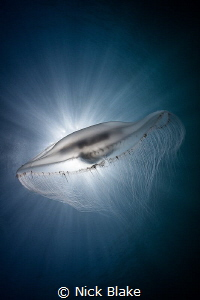 Compass Jellyfish and sunburst, Lundy Island by Nick Blake