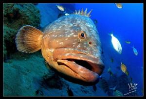 A big grouper a 30 mts In puerto del Carmen, Lanzarote by Natasha Maksymenko