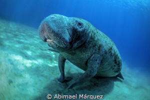 The Manatee by Abimael Márquez