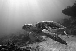 Green Sea Turtle - West Shore Oahu. by Glenn Poulain
