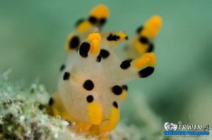 P I K A C H U Nudibranch (Thecacera) Lembeh Strait, Ind... by Irwin Ang