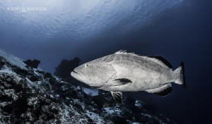 Large Grouper hanging by the dropoff waiting for lunch C... by Ken Kiefer