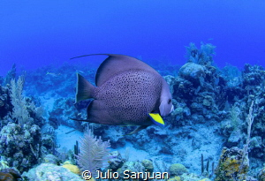 French Angelfish by Julio Sanjuan